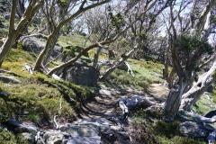 Ribbon gum trees in Thredbo (dead trees)