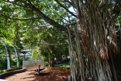 Brisbane park shaded by a huge banyon tree