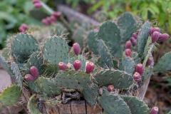 Boise-Cactus