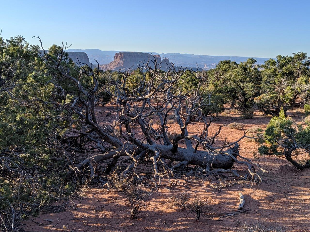 Canyonlands-Murphy-hike-cool-dead-tree