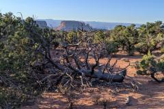 Canyonlands-Murphy-hike-cool-dead-tree
