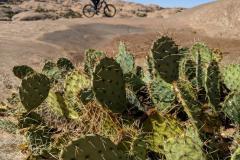 Moab-slick-rock-cactus