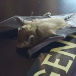 bat that fell from the ceiling Lakeside Lodge