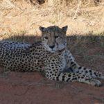Entabeni cheetah