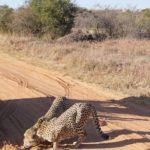 Entabeni Cheetahs sniffing tracks