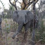 elephant trunk down
