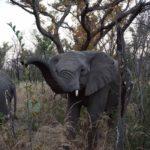 elephant trunk up