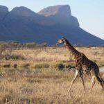 Entabeni giraffe