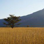 Entabeni savannah grass
